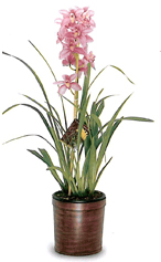 Gallup & Stribling Cymbidium Plant